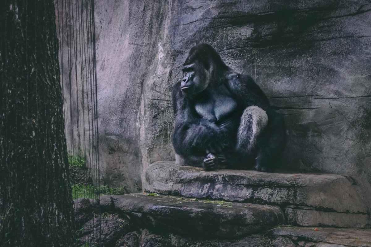 a sad black gorilla