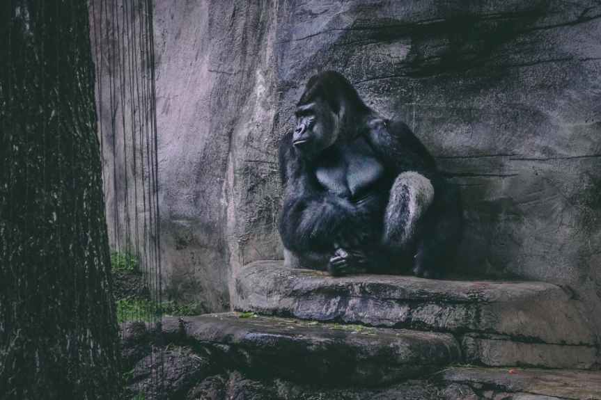 a sad black gorilla