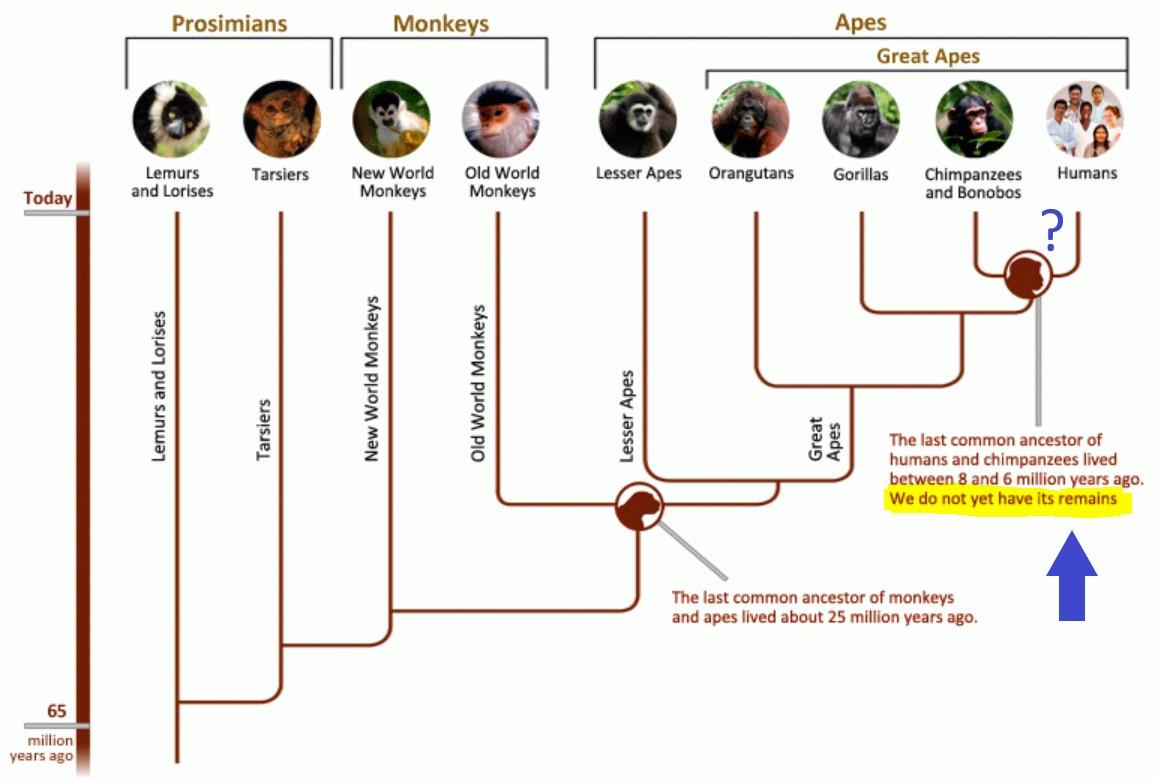 primate family tree